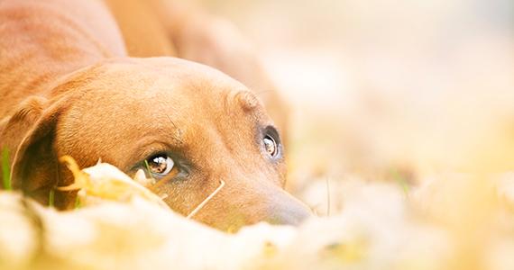 ¿Cómo reconocer si mi perro está triste?